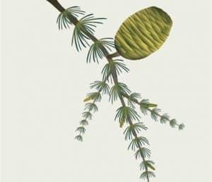 vissevasse - cederkogle