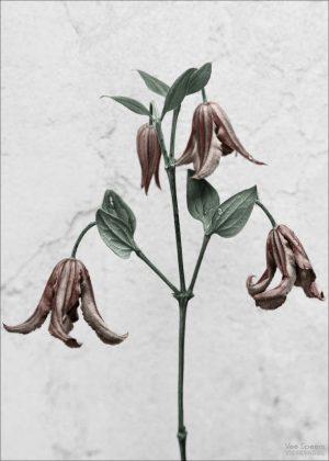 Botanica clematis integrifolia